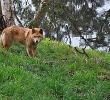 Australian Dingo by JaninesWorld