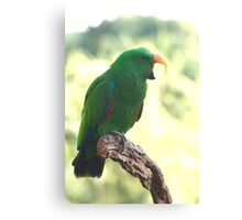 Eclectus Shouting The Odds Canvas Print