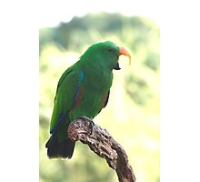 Eclectus Shouting The Odds Photographic Print