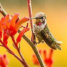 Anna's Hummingbird by Kimball Chen
