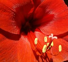 Red Amaryllis in Sunlight by John Arthur Robinson