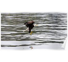 Eagle Swooping in for a Meal Poster