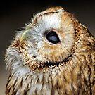 Baby Barn Owl by David Alexander Elder