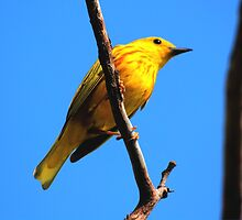 Yellow Warbler by Larry Trupp