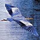 Heron Gliding by David Alexander Elder