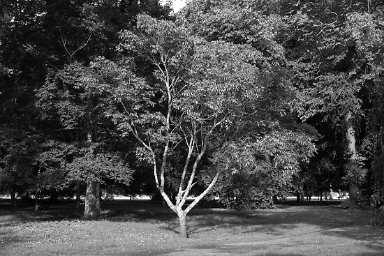 Magnolia Tree in Summer BW by Artberry