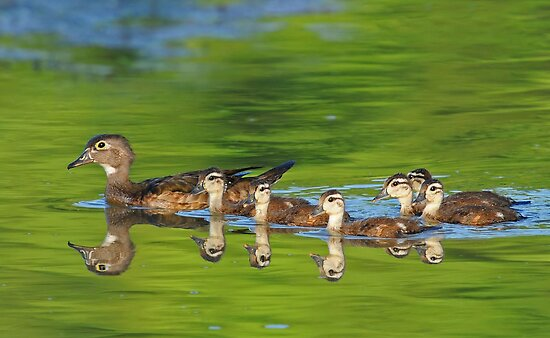 Wood Ducks by photosbyjoe