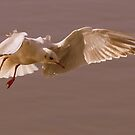Black-headed Gull by Neil Bygrave (NATURELENS)