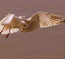 Black-headed Gull by Neil Bygrave (NATURELENS)