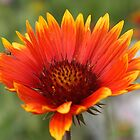 Blanket Flower  by Zack Parton