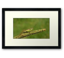 Field Cricket  Framed Print