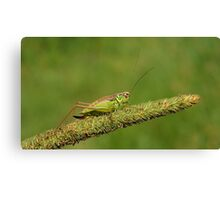 Field Cricket  Canvas Print