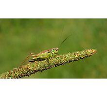 Field Cricket  Photographic Print