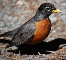 American Robin by Ron Hannah