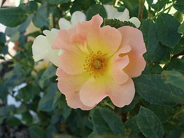 ONE PRETTY MONTANA ROSE by May Lattanzio