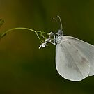 White beauty by César Torres