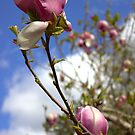 Magnificent Magnolia by CliveOnBeara