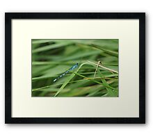 Blue Damselfly Framed Print