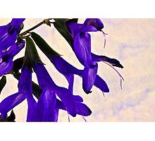 Blue Angel Sage Macro  Photographic Print