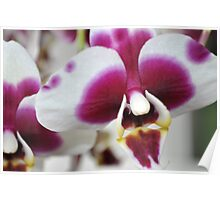 spotted orchid Poster