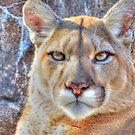 Cougar by shutterbug2010