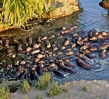 One Hundred Hippos in a Pool by Keith Davey
