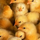 Clutch of Yellow Fluffy Chicks by taiche