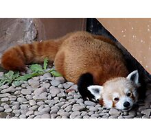 Red panda lounging at the zoo Photographic Print