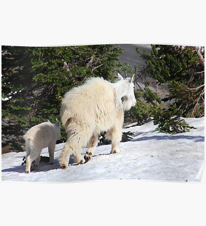 Mountain goat family Poster