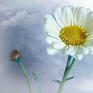 Daisy Portrait by Dianne English