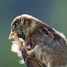 English Sparrow by Marilyn Harris