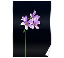 Happiness - Oxalis Poster