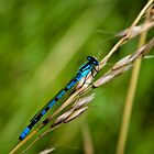 Blue Damselfly by Vicki Field