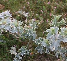 SEA HOLLY . by Dahlia48