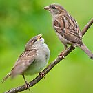 House Sparrows by Margaret S Sweeny