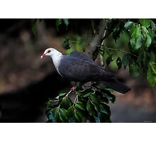 White-headed Pigeon Photographic Print