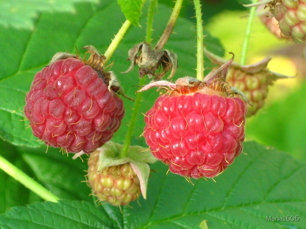 Raspberries in the garden by Maria1606