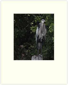 Great Blue Heron from Okauchee Wisconsin by Thomas Murphy