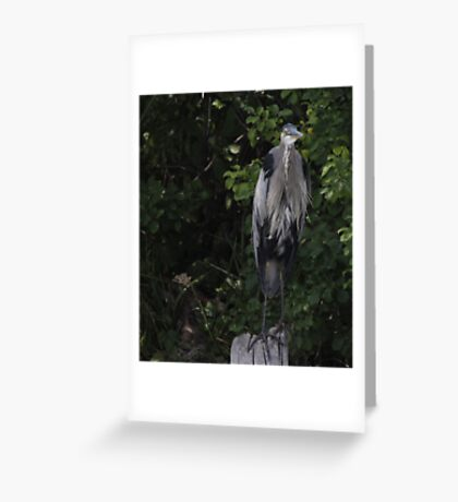 Great Blue Heron from Okauchee Wisconsin Greeting Card