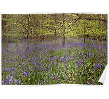 Blubells in Middleton Wood, Ilkley Poster