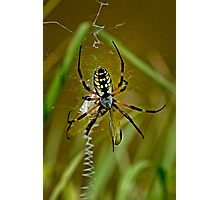 Argiope Aurantia Spider Processing a Dragon Fly Photographic Print