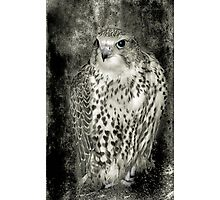 Kestrel in B&W Photographic Print