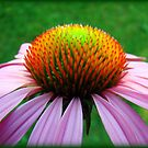 Full Cone Flower by PatChristensen