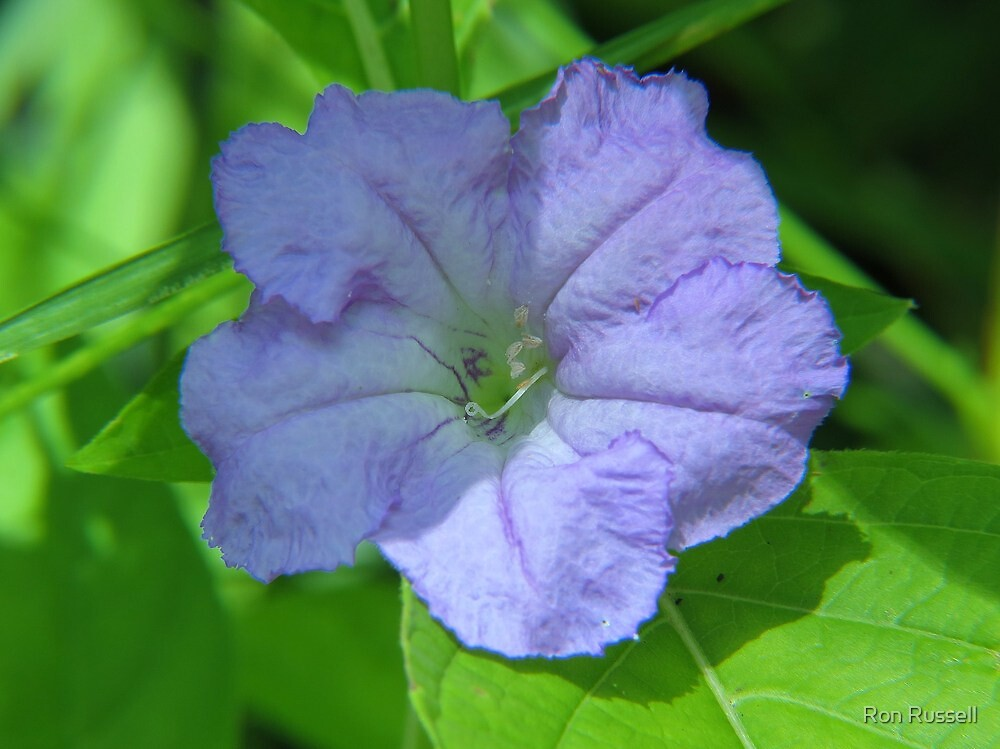 Wild Petunia by Ron Russell