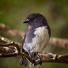 South Island Robin by Karen Scrimes