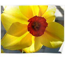 Daffodil sunshine Poster