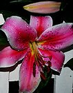Pink Tiger Lily by Tori Snow