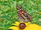 American Lady Butterfly Underwing - Vanessa virginiensis by MotherNature