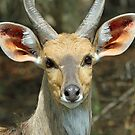 A young male reedbuck by jozi1