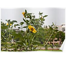 Beautiful yellow flowers in a garden Poster